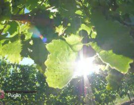 Signori del Vino ecco la luce della Puglia