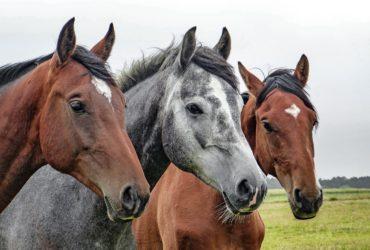 Essenze equestri e quel sentore di fieno e cuoio